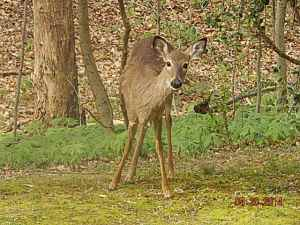 Slim pickings due to the tardy spring, is bringing the deer to our backyards.