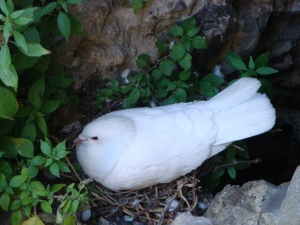 Dove in England